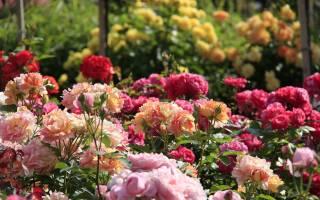 Полиантовые розы сорта фото