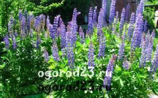 Цветок люпин многолетний описание растения и его выращивание