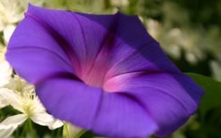 Цветок ипомея уход и посадка; ипомея многолетняя выращивание из семян