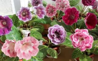 Уход за глоксинией осенью после цветения