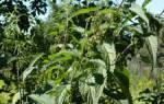 Крапива многолетнее или однолетнее растение