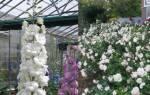 Роза марина фото и описание