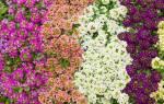 Цветы которым не страшны заморозки