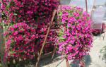 Каскадная петуния или водопад цветов
