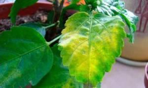 Гибискус почему пожелтели многие листья
