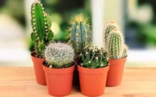 Как прорастить и посеять семена кактусов