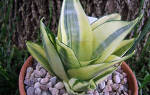 Цветы сансевиерия описание и уход в домашних условиях