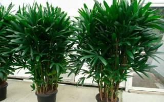 Бамбуковая пальма рапис ботаническое описание родина растения