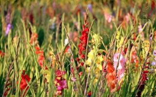 Технология выращивания гладиолусов советы от профессионального цветовода