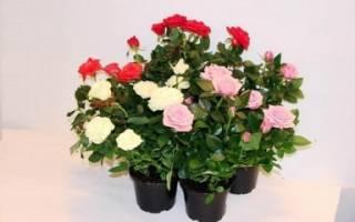Розы мелкоцветковые кустовые