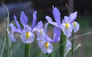 Ирис голландский виды и особенности выращивания