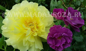Розы и пионы фото
