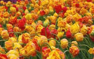 Махровые тюльпаны ранние описание класса