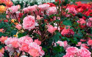 Роза цветок уход в саду