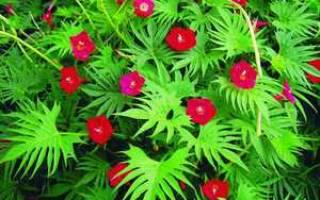 Посадка и уход за ипомеей как вырастить красочную лиану