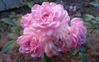 Полиантовые розы фото и описание красивых сортов