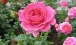 Самые неприхотливые садовые цветы украшаем дачный участок в сибири