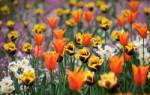 Клумбы из тюльпанов на даче фото