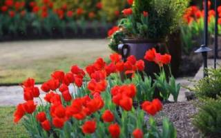 Посадка тюльпанов время посадки тюльпанов советы садоводов