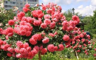 Режим полива плетистой розы
