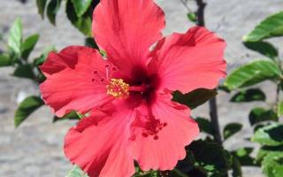 Гибискус hibiscus комнатный цветок