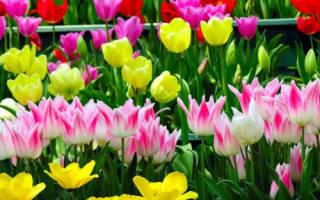 Поколения луковицы тюльпана