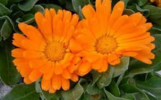 Когда и как правильно сажать семена и рассаду календулы