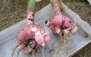 Секреты садоводства как хранить луковицы гладиолусов