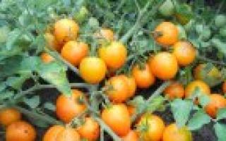 Сорта помидоров устойчивых к фитофторозу это актуально