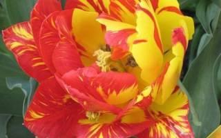 Пестролистность тюльпана