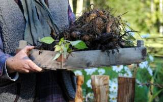 Когда выкапывают георгины на зиму и почему нужно это делать