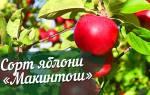 Макинтош яблоня описание