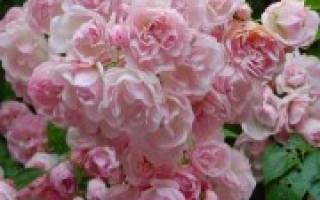 Роза флорибунда украшает цветник все лето
