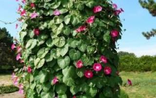 Однолетние лианы которые нужно сеять на рассаду