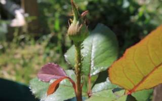 Розанная тля на стебле