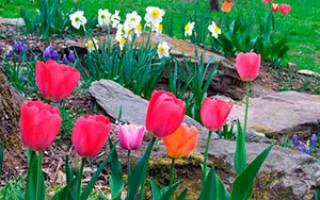 Нужно ли выкапывать тюльпаны после цветения