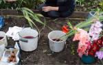 Уборка луковиц гладиолусов
