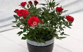 Розы домашние сорта фото