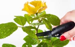 Как обрезать комнатную розу на зиму