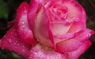 Роза чайно гибридная дам де кер