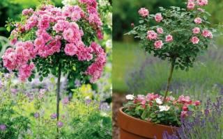Штамбовые розы посадка и уход