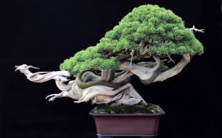 Бонсаи из каких растений вырастить как это сделать самим