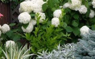 Гортензии осенью цветение и укрытие