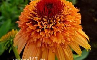 Эхинацея пурпурная фото цветов