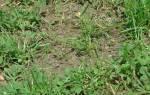 Однолетние двудольные сорняки фото