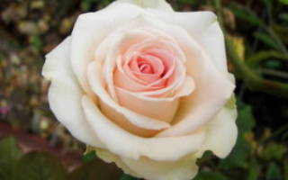 Розы разного цвета