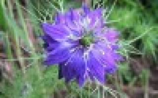Нигелла фото цветов их выращивание и применение