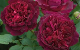 Розы дэвида остина фото