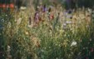 Самые распространенные полевые цветы