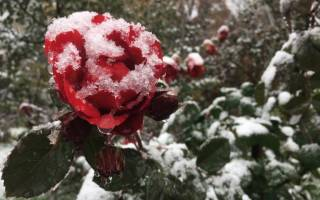 Уход за розами флорибунда осенью обрезка